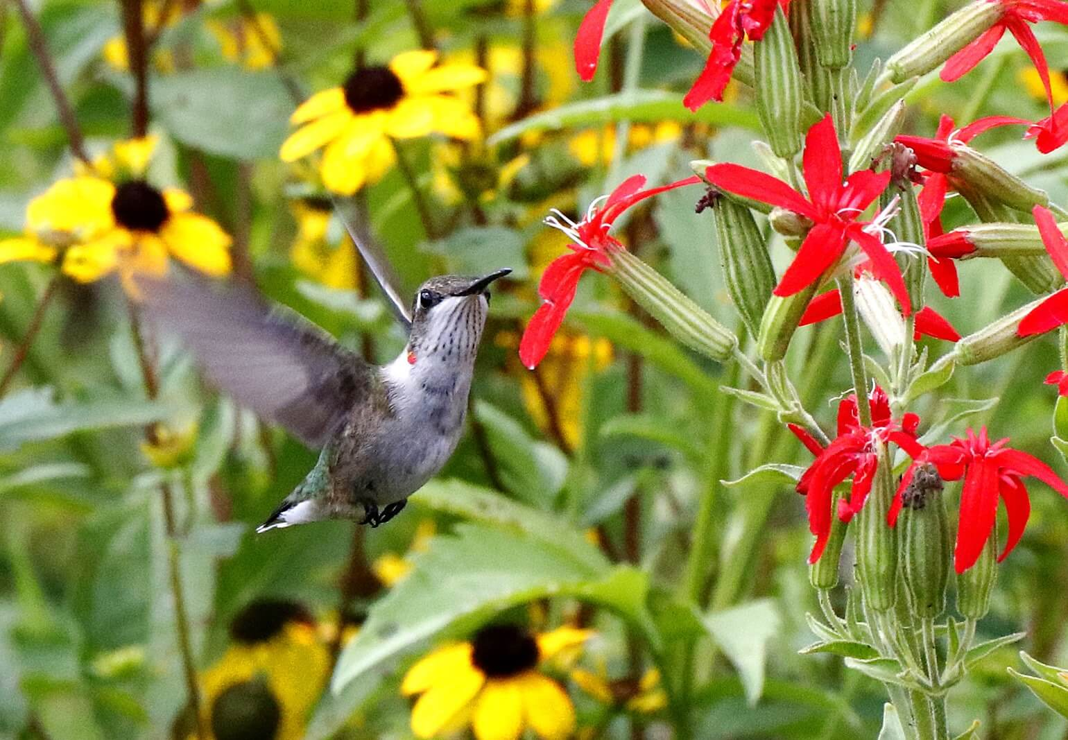 Hummingbird at Mounds State Park – Anderson, Indiana